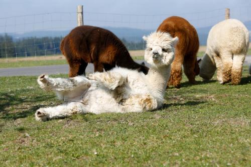 Alpaka auf Wiese