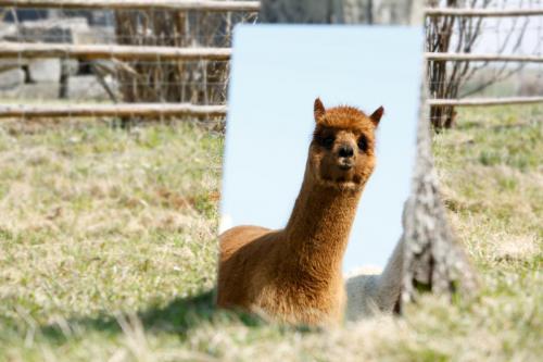 Alpaka im Spiegel1