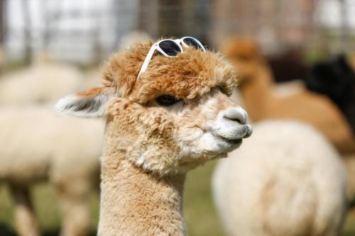 Alpaka mit Brille