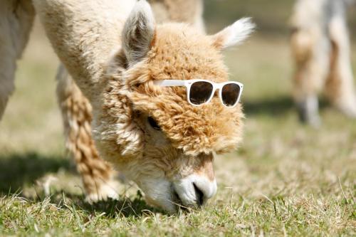 Alpaka beim Grasen mit Brille
