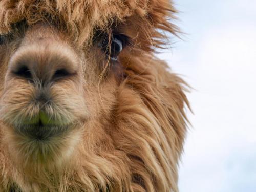Gesicht Alpaka